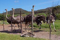 cape-point-straussenfarm