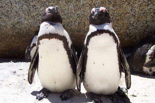 pinguine-boulders-beach-1