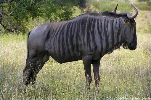 Gnus | Tiere | Kapstadt in Süd...