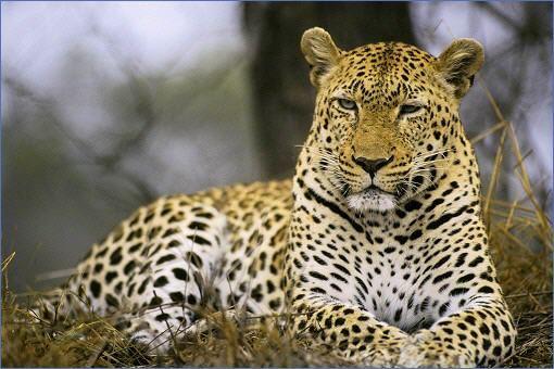 Leoparden  Tiere  Kapstadt in Sdafrika