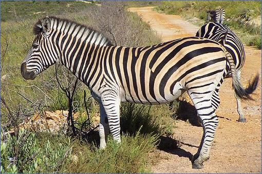 Steppenzebra bontkwagga oder zebra südafrika