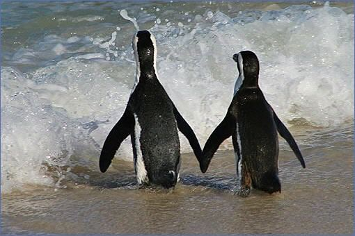 Pinguine, scheinbar Hand in Hand, am Boulder's Beach in Simon's Town