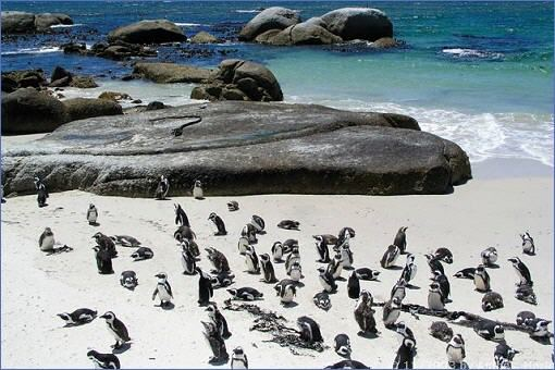 Pinguine am Foxy Beach bei Boulder´s in Simon´s Town