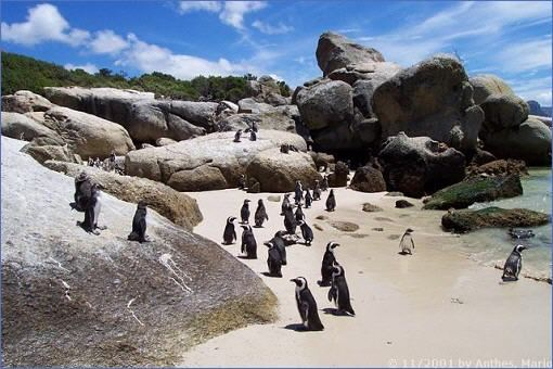 Pinguine am Boulder´s Beach
