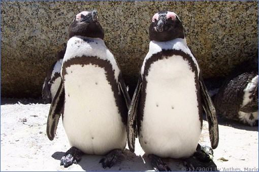 Zwei Pinguine am Boulder´s Beach